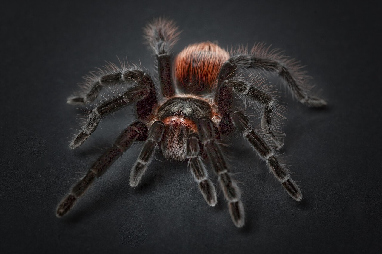 tarantula photo