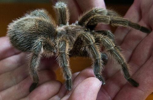 hold tarantula photo