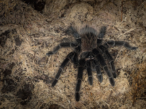 curly tarantula photo