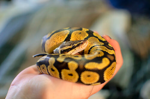 What Can Be Used For Bedding For A Ball Python