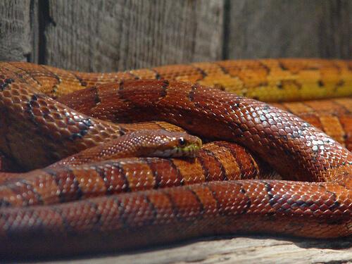 snake mouse photo