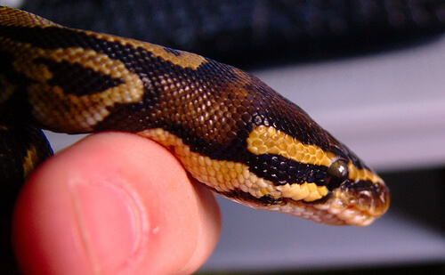 pet ball python photo