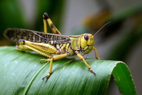 locust photo