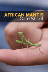 This care sheet reveals how to keep the African praying mantis as a pet. It is an ideal species for <a href=