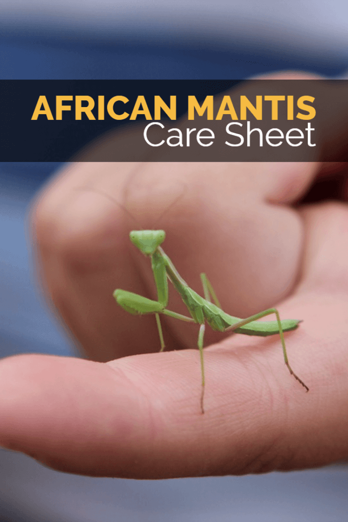 This care sheet reveals how to keep the African praying mantis as a pet. It is an ideal species for beginners to the care of praying mantis, as you will learn. Care sheet covers everything from housing to heating, feeding and handling.