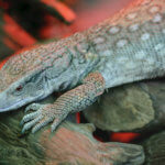 Bosc Monitor Care Sheet (Varanus exanthematicus)