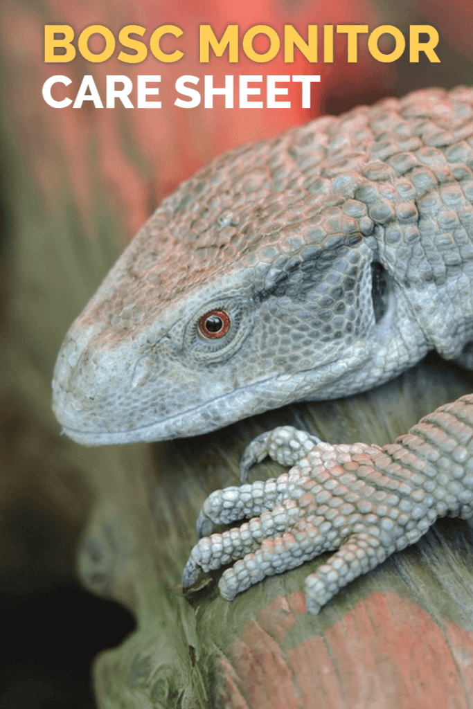 Bosc monitors are one of the best larger pet lizards that can be kept in captivity. This care sheet reveals how to look after Bosc monitors - a perfect read for all reptile enthusiasts, or those looking for a pet lizard.