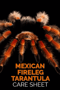 Brachypelma boehmei, the Mexican fireleg tarantula, is one of the most colorful pet tarantulas available on the market. This detailed care sheet discusses every element of keeping Mexican fireleg tarantulas as pets.