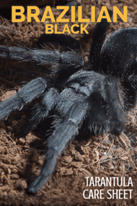 Learn all about how to keep the Brazilian black tarantula (Grammostola pulchra) in this detailed care sheet. All you need to know to keep these stunning tarantulas as pets.
