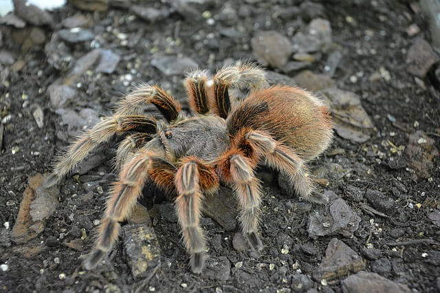 chromatopelma photo