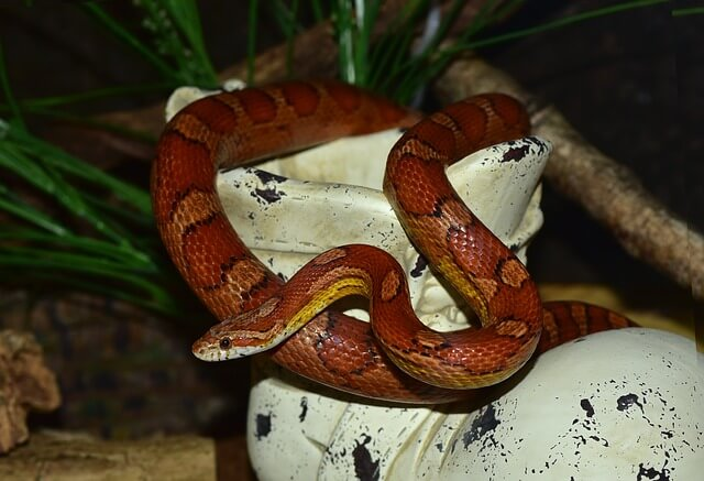 corn snake feeding photo