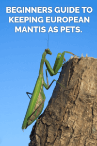A complete care sheet covering how to keep European praying mantis (Mantis religiosa) as pets. Covers feeding, cages, heating, handling and more.
