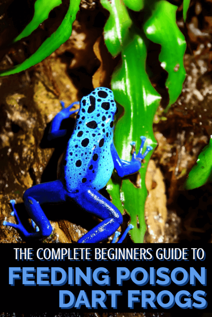 How do you feed tiny poison dart frogs in captivity? This guide looks at the best methods for feeding pet dart frogs - a must-read for any reptile and amphibian keepers.