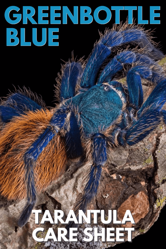 The greenbottle blue tarantula - often known simply as the GBB - is one of the most colorful pet tarantulas available in the trade. Hailing from Venezuela, this care sheet reveals exactly how to keep greenbottle blue tarantulas as pets.