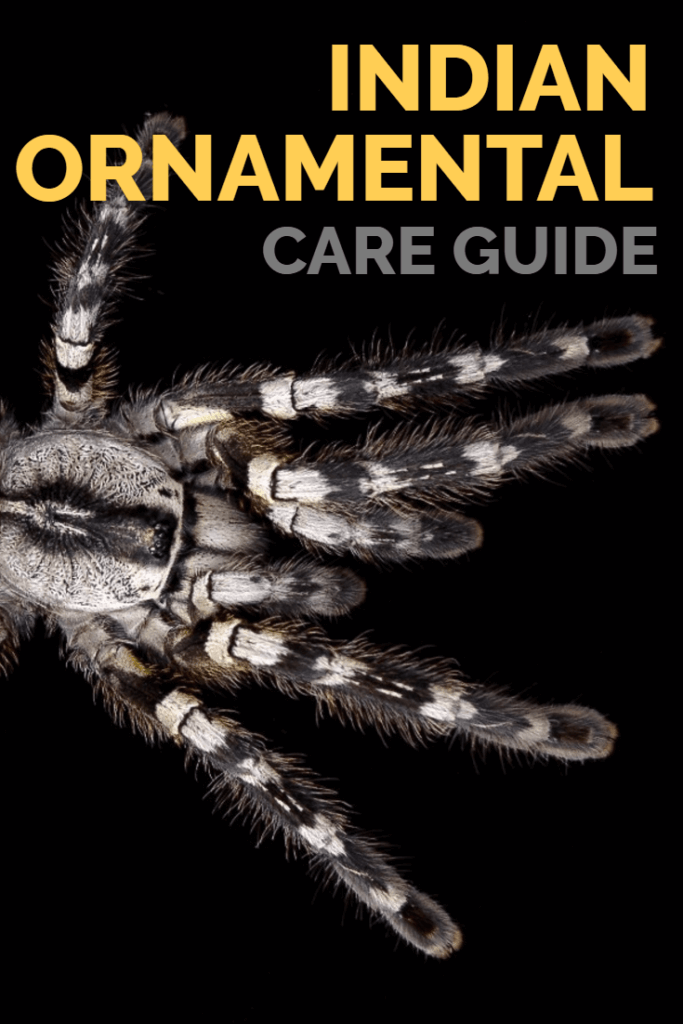 Indian Ornamental tarantulas are a stunning species from the Indian sub-continent. As one of the most beautiful pet tarantulas they're justifiably popular with tarantula keepers, and this detailed care sheet reveals exactly how to keep Indian Ornamental tarantulas as pets.