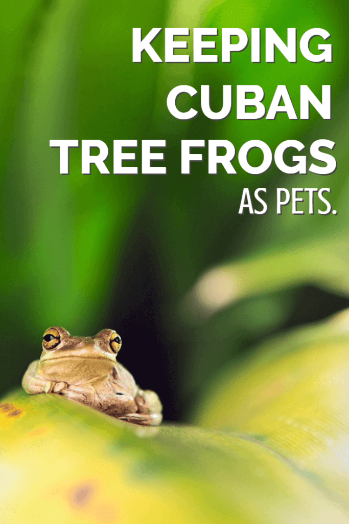 Cuban tree frogs are some of the largest, most impressive and easily-kept tree frogs available to exotic pet keepers. This complete care sheet discusses how to keep Cuban tree frogs as pets, direct from an expert with 20+ years of experience in keeping reptiles and amphibians.