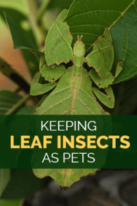Leaf insects make fascinating pets, but they're not the easiest exotic pets to look after. Fortunately this detailed leaf insect care sheet reveals exactly how to keep leaf insects as pets - idiot-proof instructions for all pet lovers.
