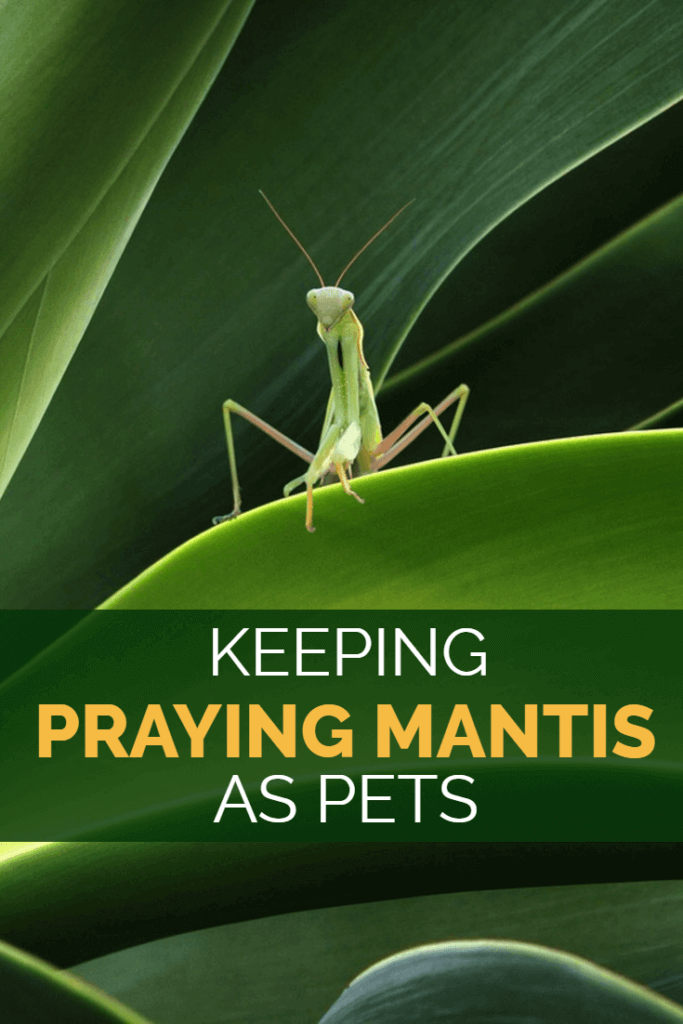 how to take care of a praying mantis