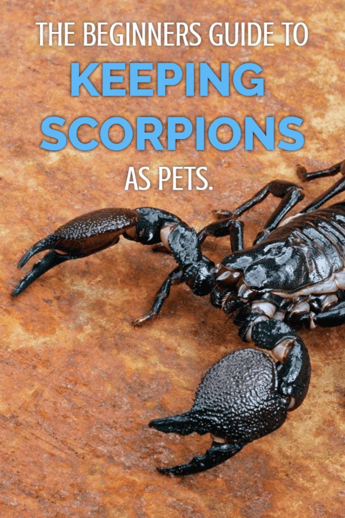 Emperor Scorpion Care Sheet (Beginners Guide
