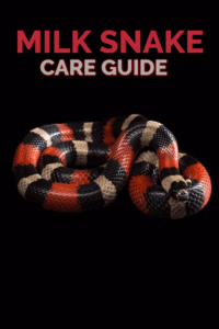 Learn all you need to know to care for milk snakes as pets in this extensive care sheet, written by an experienced reptile keeper of over 25 years.