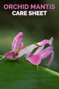 The Orchid Mantis (Hymenopus coronatus) is one of the world's most beautiful and recognisable praying mantis. Learn how to keep orchid mantids as pets with this detiled free care sheet - perfect for keepers of exotic pets.