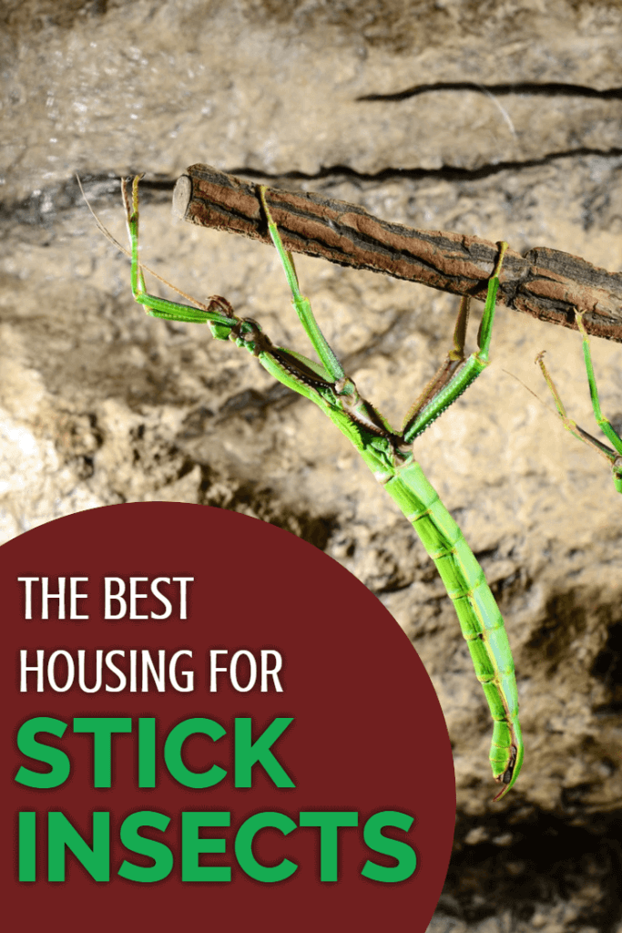 The most critical part of keeping stick insects as pets is to get their caging right. This article discusses in detail the rules to follow when choosing stick insect housing, and exactly which types of vivariums are most suitable for pet stick insects.