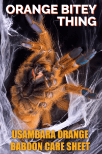 "The Usambara orange baboon tarantula is one of the best-known pet tarantulas, being fast and aggressive - leading to the nickname ""Orange Bitey Thing"" or ""OBT"". This article examines the natural history of the species, and provides a complete care guide for tarantula keepers."