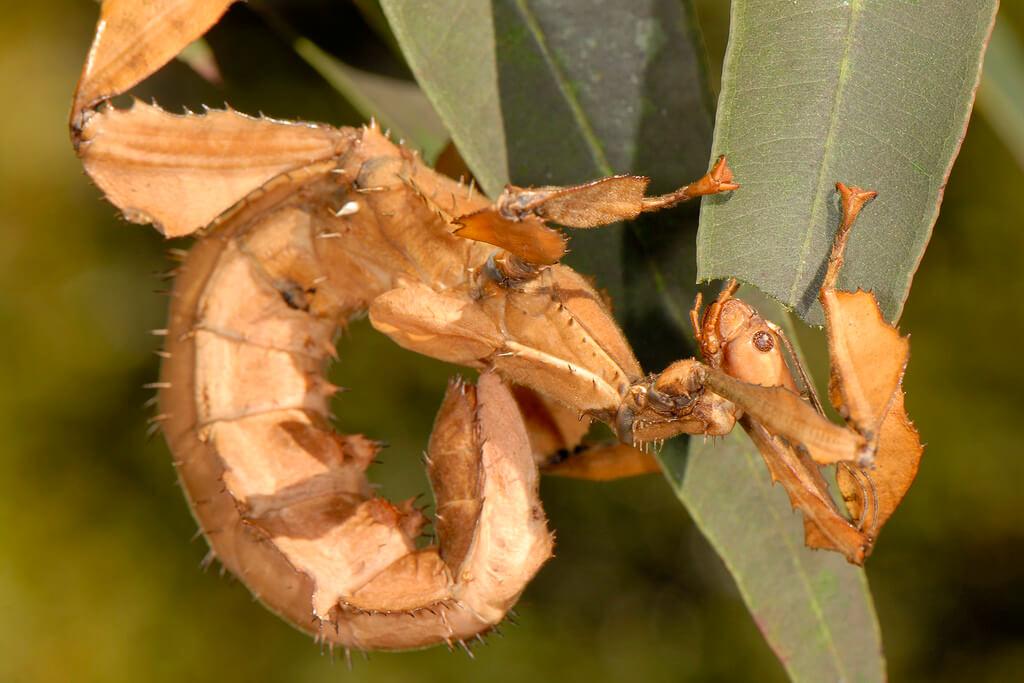 Extatosoma tiaratum photo