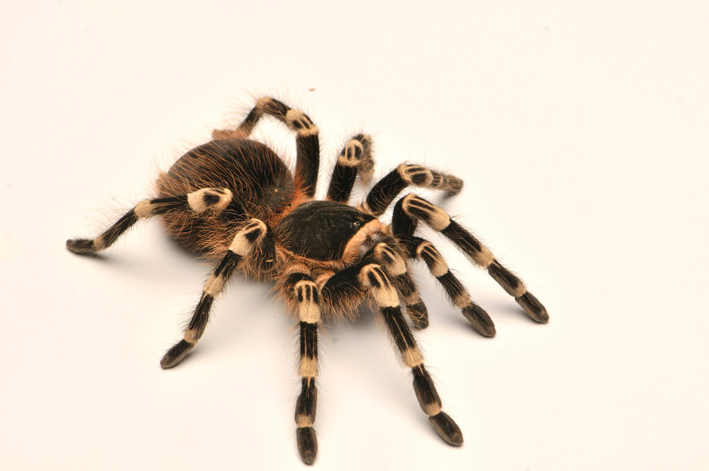 brazilian white knee tarantula photo