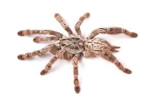 Are tarantulas aggressive?