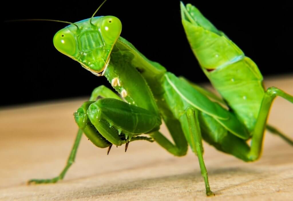How To Rear Hatchling Baby Praying Mantis Keeping Exotic Pets