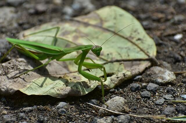 How To Look After Hatch A Praying Mantis Egg Case Ootheca