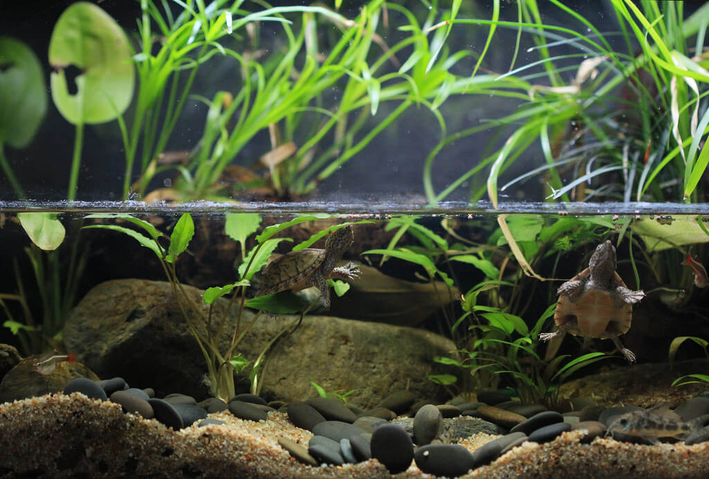 Musk Turtle Care Sheet | Keeping Exotic Pets