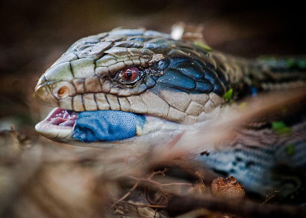 blue tongue skink photo