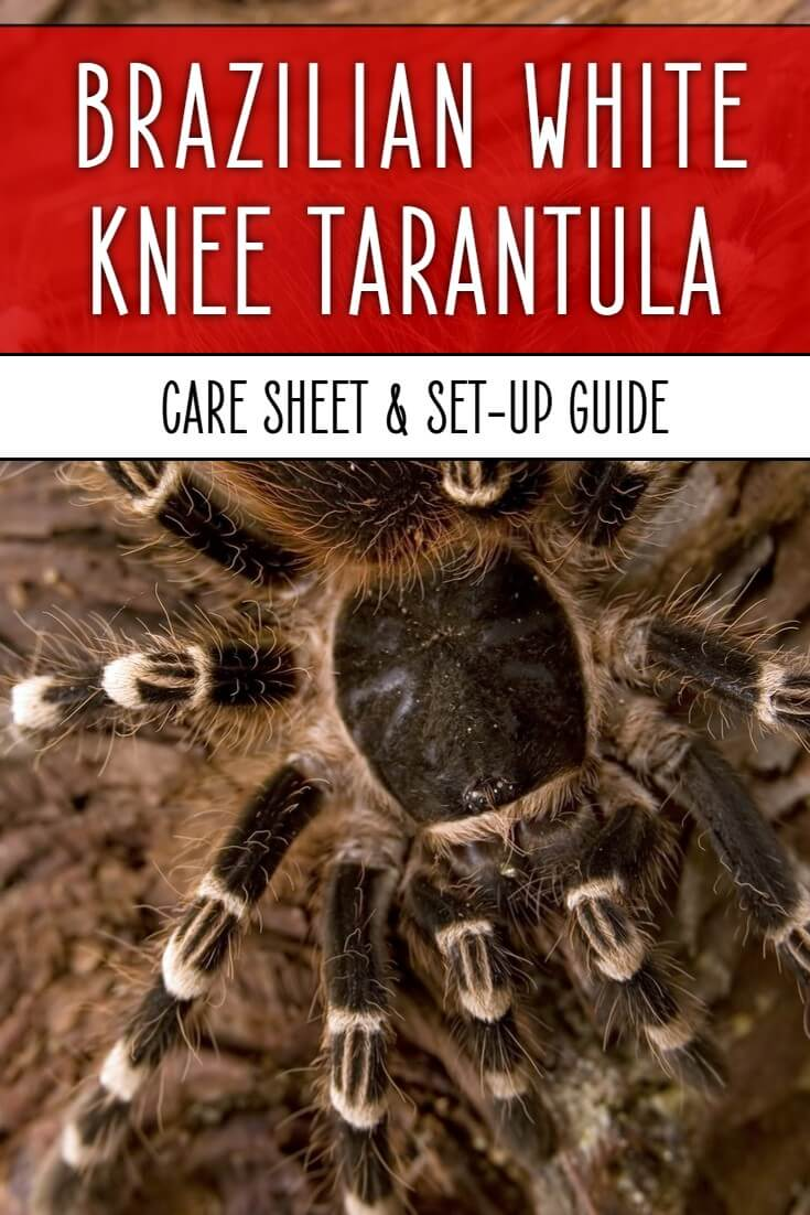 Acanthoscurria geniculata, the Giant Brazilian White Knee tarantula, is one of the best pet tarantulas for beginners. Cheap to buy, easy to keep and fast growing, this care sheet reveals everything you need to know to keep your arachnid happy.