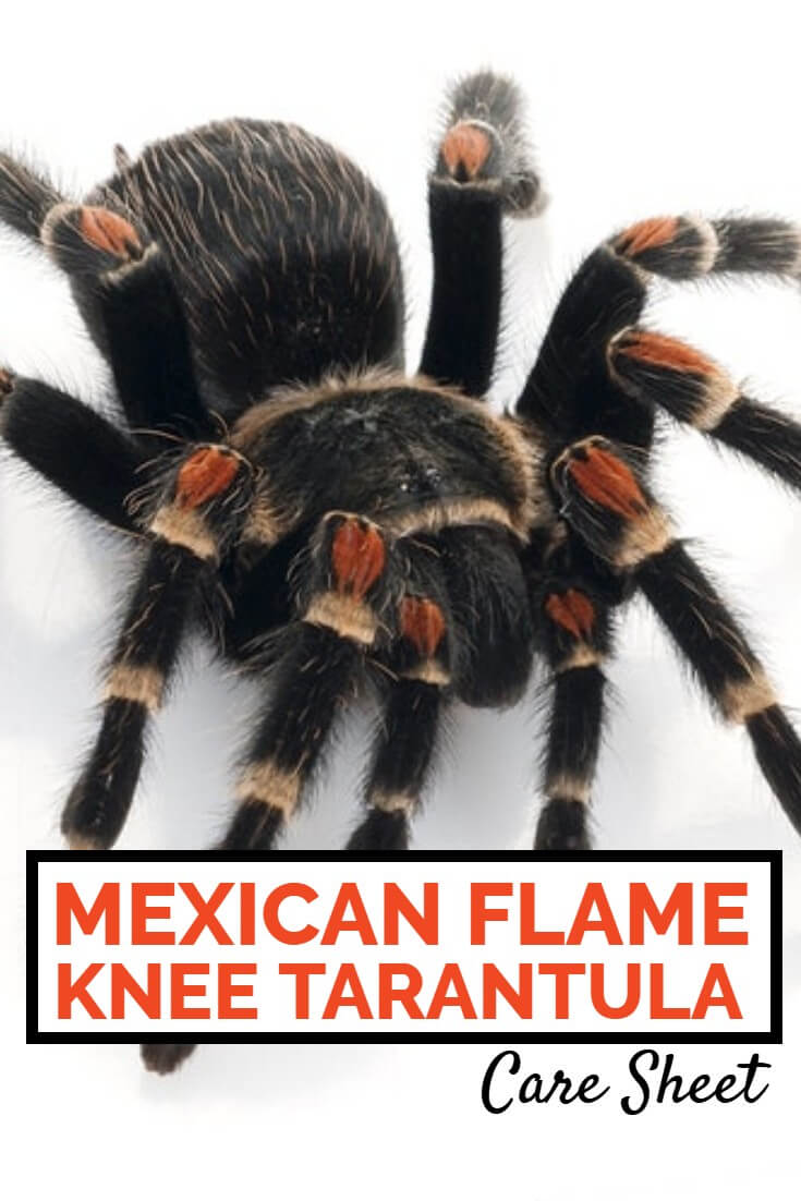Brachypelma auratum, the Mexican flame knee tarantula, is one of the most beautiful pet tarantulas available. This care sheet discusses their care including housing, heating and feeding.