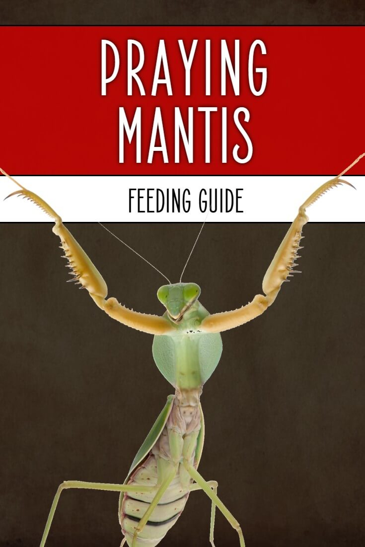 Feeding praying mantis can be a challenge for first-time owners. Luckily, this guide by a British invertebrate keeper explains all you need to know about praying mantis food and feeding.