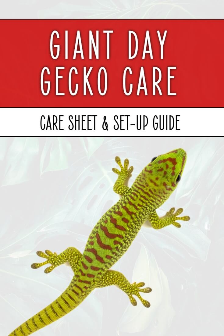 Giant day gecko care sheet from a lifelong reptile keeper. Covers every element from choosing a cage or vivarium, to heating, lighting and feeding giant day geckos - Phelsuma grandis.