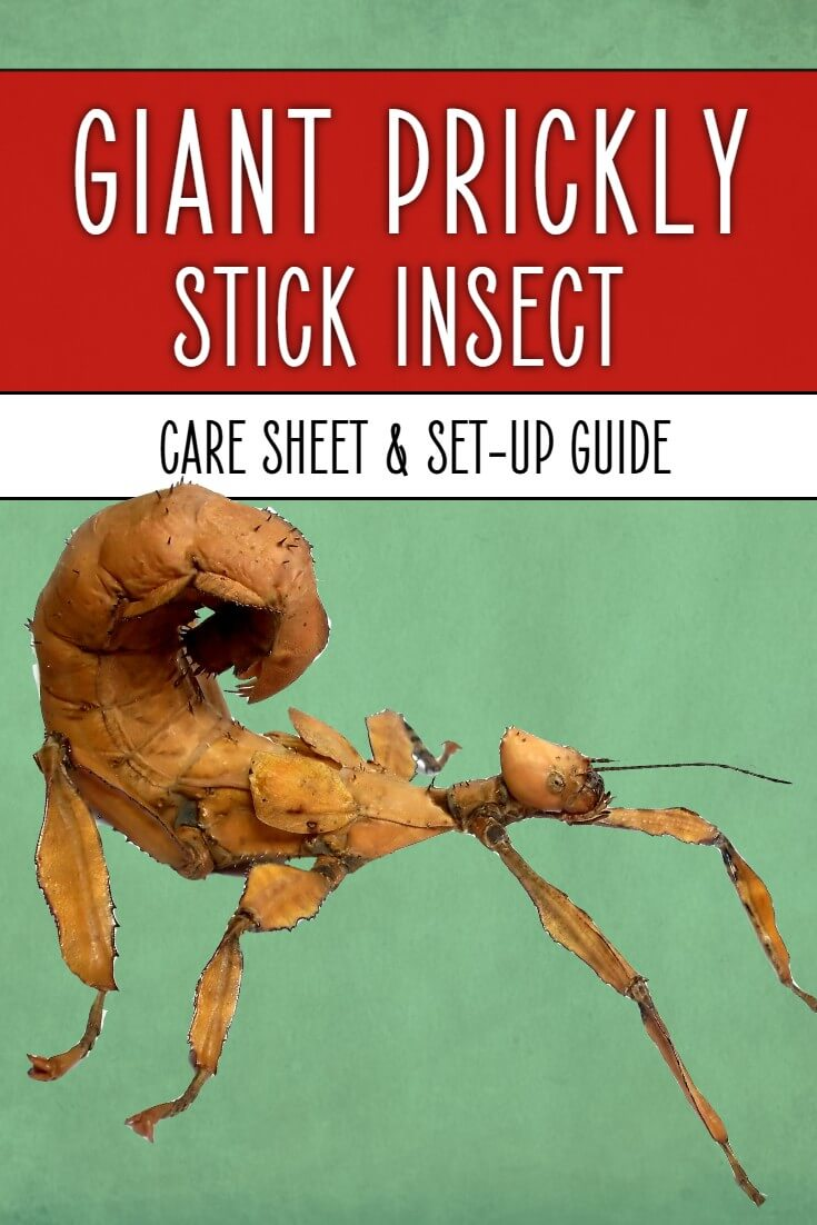 Giant prickly stick insects are amazing invertebrates to keep as pets. Sadly, they're not the easiest stick insects to look after, so this detailed care sheet tells you everything you need to know from cages to feeding and handling.