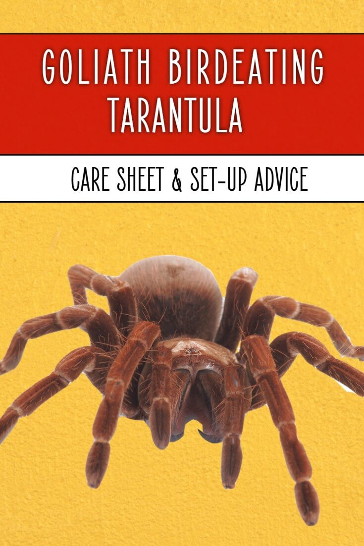 The goliath birdeater is one of the largest spiders in the world, with some adult tarantulas reaching 30cm across the legs. If you want to keep one as a pet then this care sheet will help you to look after Theraphosa stirmi or blondi properly.