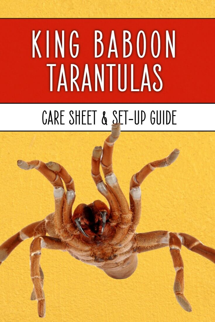 King baboon tarantulas (Pelinobius muticus) are the largest spiders in Africa. They can also make stunning pets when they're kept in the right way. This care sheet reveals how to keep your king baboon happy and healthy in captivity.
