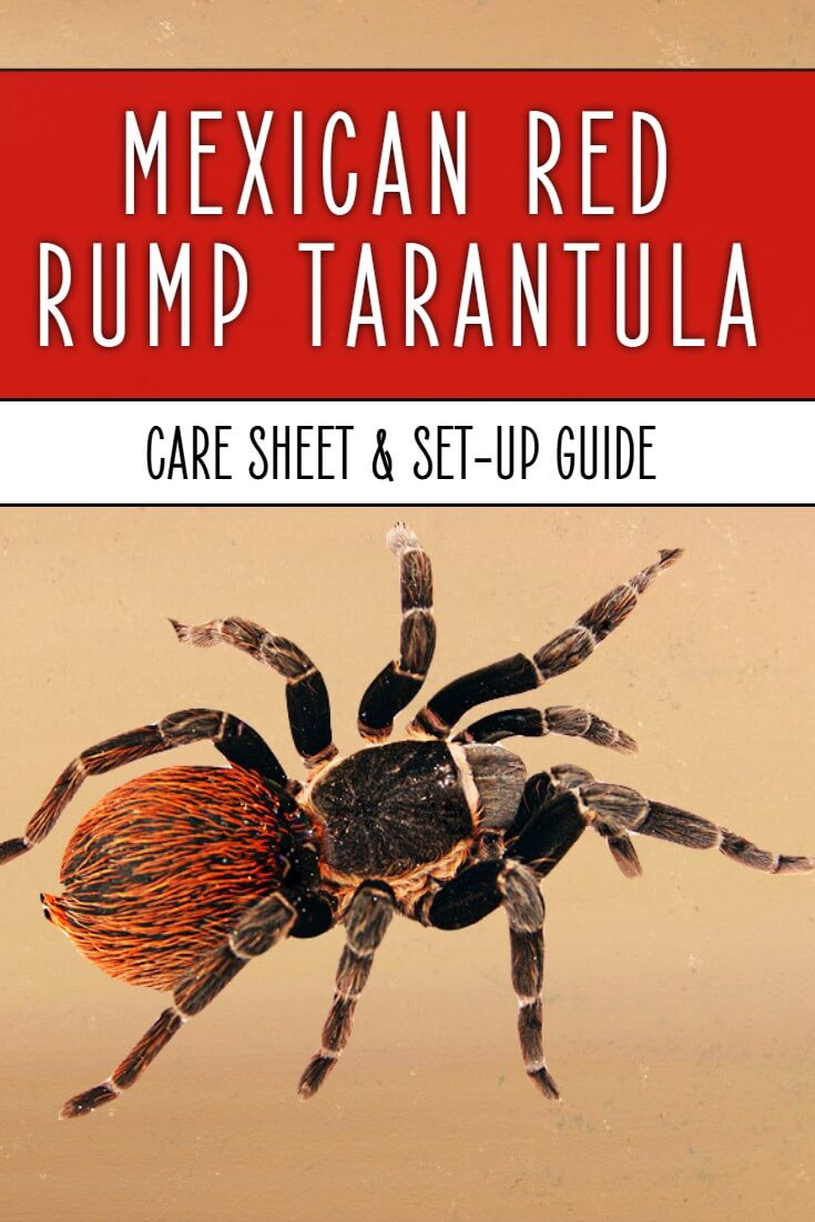 Mexican red rump tarantulas - Brachypelma vagans - are incredible looking pet invertebrates with their bright red hairs over a silky black background. This care sheet discusses everything from cages to heating to feeding and handling.