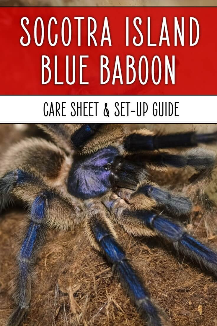 The Socotra Island Blue Baboon - Monocentropus balfouri- is one of the most colorful and exciting tarantulas available in the pet trade. Find out how to keep yours in this detailed care sheet.