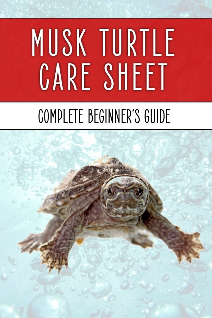 This musk turtle care sheet is written for the absolute beginner, covering every aspect of care, from choosing a tank, to setting it up correctly and feeding your pet reptiles.