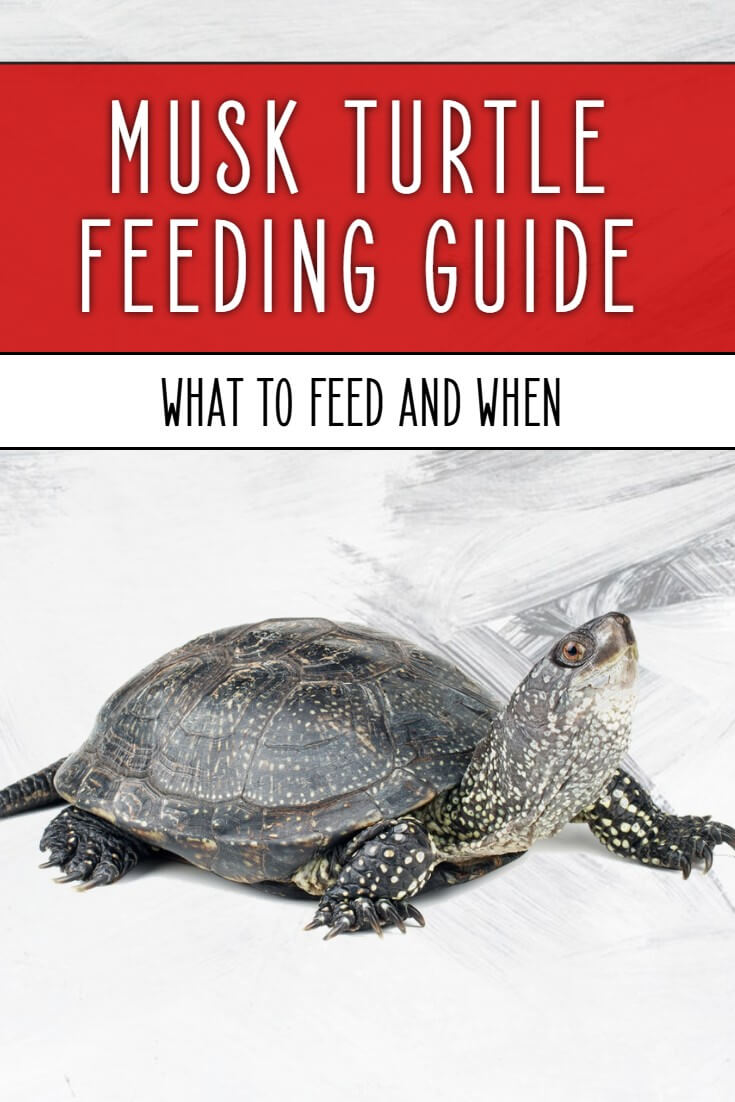 Musk turtle food is crucial to get right - but what is a balanced diet, what foods should be eaten and how often? Find out in this extensive feeding guide for musk turtle owners.