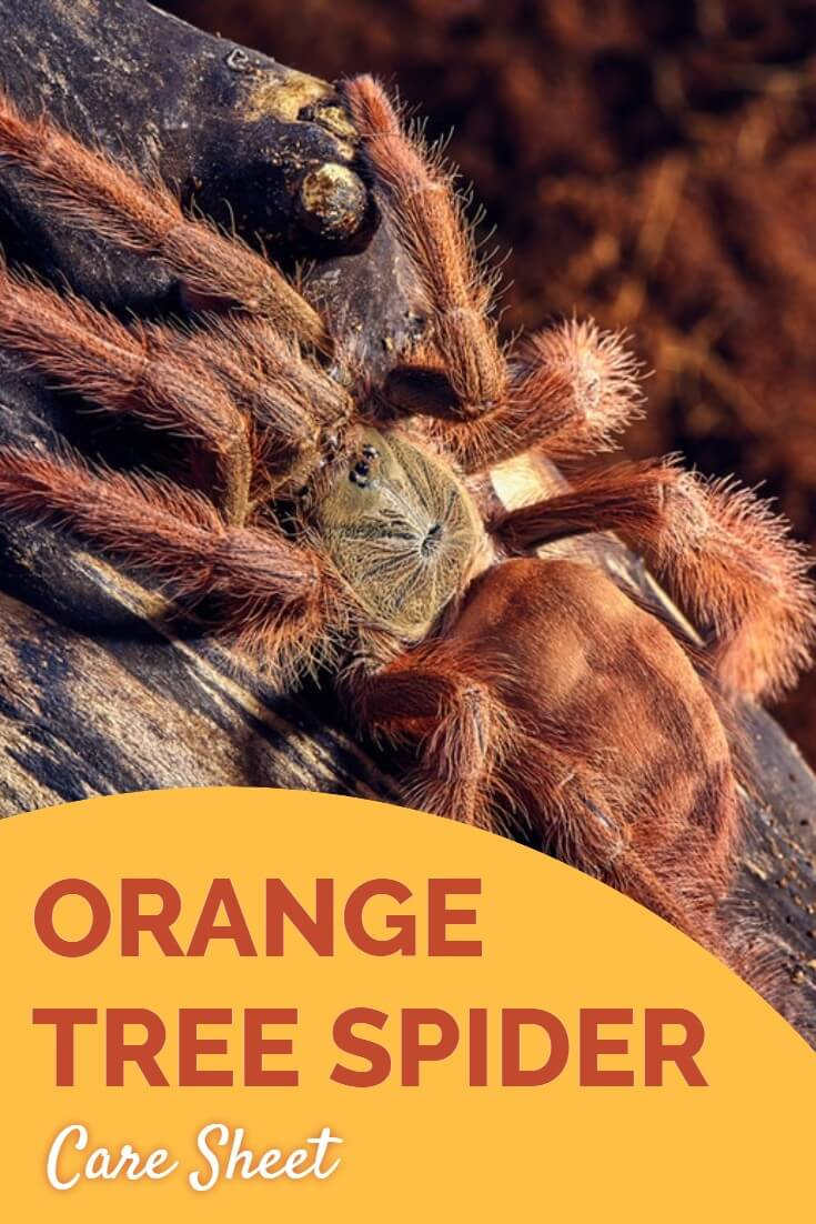 The orange tree spider tarantula - Latin name Tapinauchenius gigas - is a much under-rated pet invertebrate. This tarantula care sheet reveals all you need to know to keep your invert in perfect health.