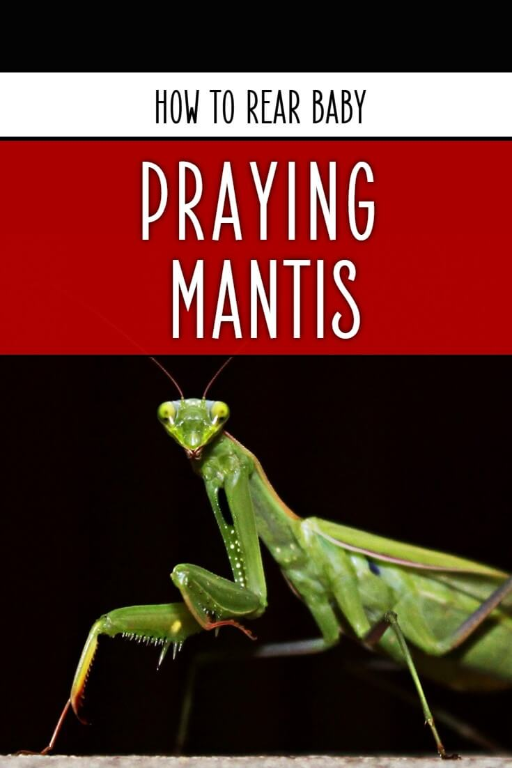 Wondering how to rear praying mantis from baby to adulthood? If so, follow this detailed guide from a British pet invertebrate keeper.