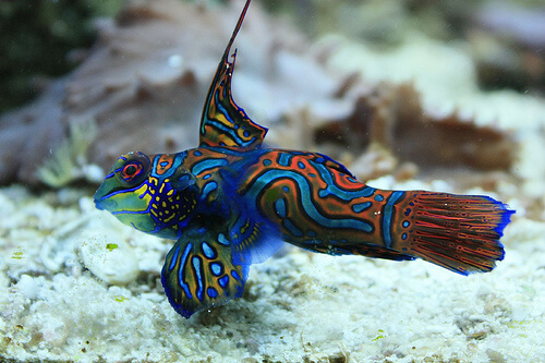 mandarin goby photo