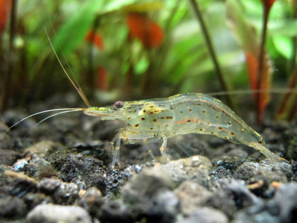 Amano Shrimp photo