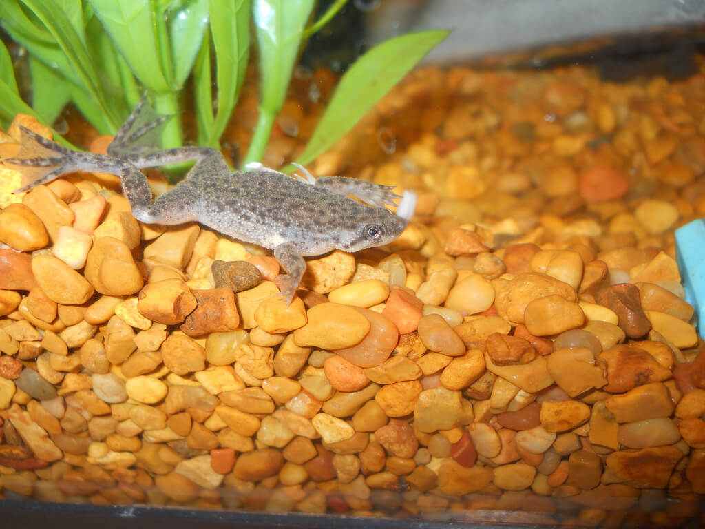 African Dwarf Frogs photo